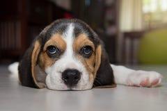 Beagle szczeniak, beagle Obrazy Royalty Free
