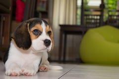 Beagle szczeniak, beagle Zdjęcia Royalty Free
