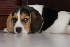 Beagle szczeniak, beagle Obrazy Stock