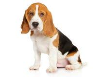 Beagle szczeniak na białym tle Zdjęcie Stock