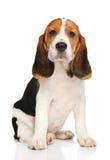 Beagle szczeniak na białym tle Zdjęcie Royalty Free