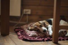 Beagle szczeniak na poduszce Obraz Royalty Free