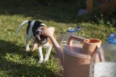Beagle szczeniak nadgryza podlewanie puszkę Fotografia Royalty Free