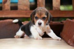 Beagle szczeniak siedzi i bawić się na drewnianym krześle zdjęcie royalty free