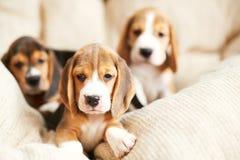 Beagle szczeniak w domu Obraz Stock