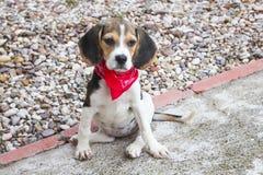 Beagle szczeniak z czerwoną chusteczką Fotografia Stock