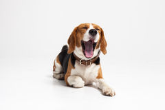 Beagle szczeniak, ziewa przed białym tłem Obraz Royalty Free