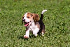 Beagle szczeniaka bieg Obrazy Stock