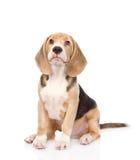 Beagle szczeniaka psa przyglądający up pojedynczy białe tło Obrazy Royalty Free