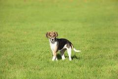 Beagle szczeniaka psi sztandar Zdjęcia Royalty Free