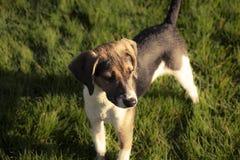 Beagle szczeniaka psi sztandar Fotografia Royalty Free