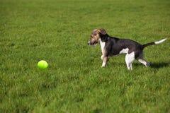 Beagle szczeniaka psi sztandar Obrazy Royalty Free