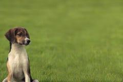 Beagle szczeniaka psi sztandar Zdjęcia Stock