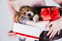 Beagle szczeniaki śpi w koszu obrazy stock