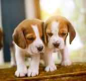 Beagle szczeniaki Zdjęcia Royalty Free
