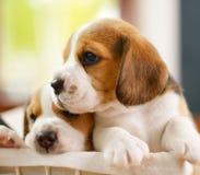 Beagle szczeniaki Zdjęcie Royalty Free
