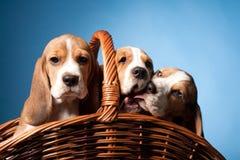 Beagle szczeniaki Obrazy Stock