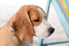 Beagle tired Royalty Free Stock Image
