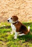 Beagle TJ relaksuje po zabaw gier Obraz Royalty Free