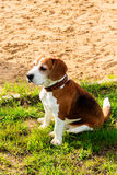 Beagle TJ relaxing after fun games. Royalty Free Stock Image