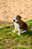 Beagle TJ relaxing after fun games. Royalty Free Stock Photography