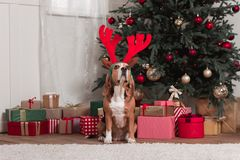 Beagle with toy antlers and christmas gifts Stock Images