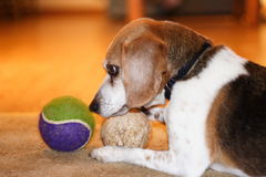 Beagle with Toys. This is a photo fo a beagle playing with its toys Stock Photography