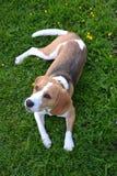 beagle trawa Obraz Royalty Free