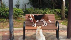 Beagle tri-color dog seating