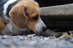 Beagle sniffs curiously stock photography