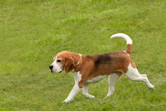 Beagle trotting along Stock Image