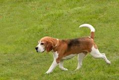 Beagle trotting along stock image