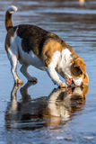 Beagle trying to bite its reflection. White and tan beagle dog trying to bite its reflection Royalty Free Stock Photo