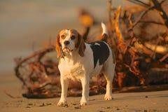 Beagle trzy kolory obrazy stock