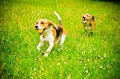 beagle två Royaltyfri Bild