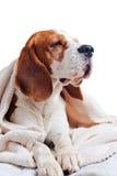 Beagle under blanket , isolated on white background. Beagle under the white blanket , isolated on white background Royalty Free Stock Photo