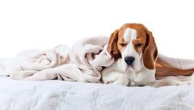 Beagle under blanket , isolated on white background. Beagle under the white blanket , isolated on white background Royalty Free Stock Image