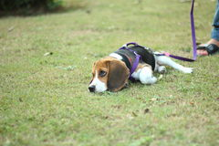 Beagle unhappy. Dog sad on grass Stock Image