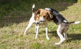 Beagle versus Jack russel Stock Image
