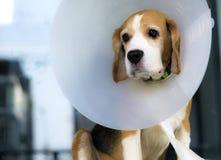Beagle. And veterinary collar protection Royalty Free Stock Photos