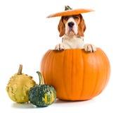 Beagle w bani Obraz Royalty Free