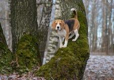 Beagle w wiosen drewnach wspina się drzewa obrazy stock