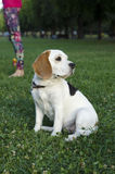 Beagle waiting for her owner. In the park royalty free stock photos