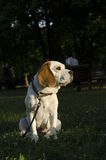 Beagle waiting for a walk in a city park. In Sofia Royalty Free Stock Images