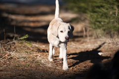 Beagle on a walk in a forest Royalty Free Stock Photo