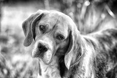 Beagle walk on fresh air. Hunting and detection dog. Dog with long ears on summer outdoor. Cute pet on sunny day. Companion or friend and friendship concept royalty free stock images