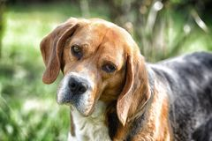 Beagle walk on fresh air. Hunting and detection dog. Dog with long ears on summer outdoor. Cute pet on sunny day. Companion or fri. End and friendship concept Royalty Free Stock Photography