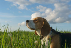 Beagle on a walk in a green field in summer evening Royalty Free Stock Photos