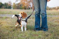 Beagle walk on long lead at the park Royalty Free Stock Photos