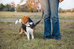 Beagle walk on long lead at the park Royalty Free Stock Photo